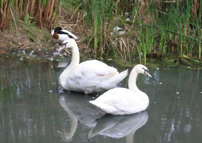Swanlake-Des-Jan-2013-001