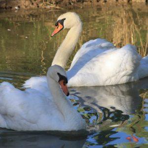 Swan-Lake-Gardens-img (104)